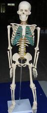Model Anatomy Professional Medical Skeleton Spinal Nerves 34 85cm Artmed