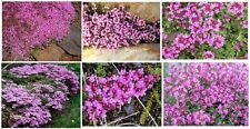 Pink Creeping Thyme Beautiful Perennial Ground Cover Plant   50 Seeds
