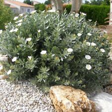 convolvulus cneorum pot 2 litres Liseron de turquie