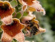 50+ Ferrugiena Foxglove Digitalis / Deer Resistant / Perennial Flower Seeds