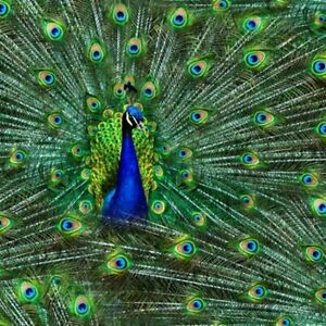 CLEARANCE! 3/4 Yard Hoffman Spectrum Digital Print Fabric Proud as a Peacock
