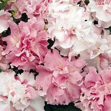 Petunia Double Cascade Orchid Mist Annual Seeds