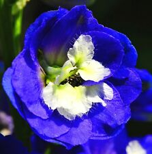 New listing Delphinium Blue Jay Perennials Flower Seeds For Home Garden Yard 50Pcs