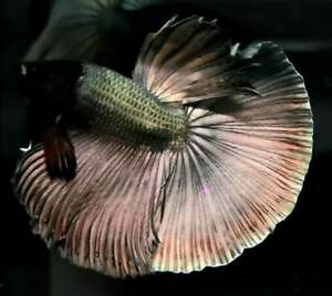 Vvip Laxury! (Premium Live Betta Fish) : Male : Over Halfmoon Copper Rust
