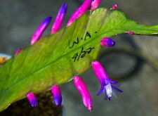 10 Wittia amazonica SEMI KORN ORCHID FOREST CACTUS seeds rare flowers