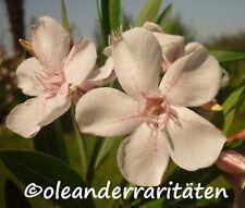 Oleander HARRIET NEWDING 40-50cm 3l Topf weiss mit Sternzeichnung B-WARE