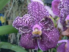 Orchid Vanda 3 Plants of Purple Color Special Pack Exotic Tropical