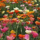 Poppy- California Mix- 500 Seeds- BOGO 50% off SALE