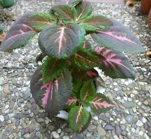 Buntnessel Coleus selten dreifarbig grün pink Zimmerpflanze Ableger Steckling