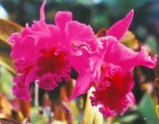 3 Hawaiian Cattleya Orchid Plants ~ Grow Hawaii