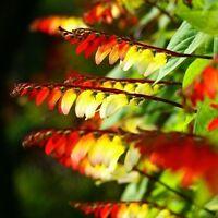 Mina Lobata Quamoclit Spanish Flag Flower Seeds from Ukraine