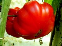 RIESENTOMATE sehr schmackhaft Fleisch- Tomate Früchte bis 1 kg schwer, rot, süß