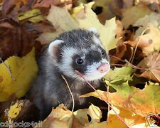 Ferret 8 x 10 GLOSSY Photo Picture Image #2