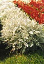 Stunning Silver Dust Bushy Foliage Annual Flower Seeds