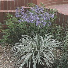 3 Agapanthus Silver Moon variegated leaves deciduous garden perennial plants