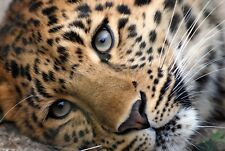 Leopard Canvas Picture Wild Cat Animal Face Close Up Wall Image Art Work Print