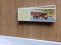 M12c Ty-phoo typhoo Tea card horses no 23 steeplechaser