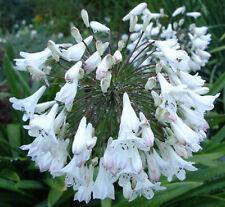 Agapanthus africanus alba 10 seeds