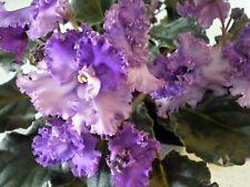 African Violet Leaves ~ Buckeye Lazy Daze Sport~ Amazing