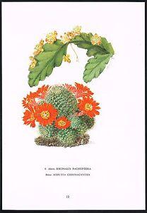 1960s Vintage Rhipsalis Rebutia Cactus Flower Botanical Art Print