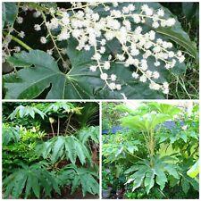 Tetrapanax papyrifer T-REX Dinosaur tree! Fresh seeds! Tropical hardy tree/shrub