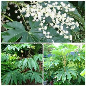 Tetrapanax papyrifer T-REX Dinosaur tree! Fresh seeds! Tropical hardy tree/shrub