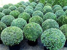 Buchsbaum Kugel, Buxus sempervirens (Durchmesser: 50-55 cm) + Dünger