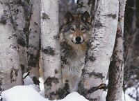 Mountain Ranger by Art Wolfe Art Print Wolf Wildlife Photo Poster 24x32