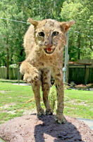 Taxidermy Mounted Bobcat Large