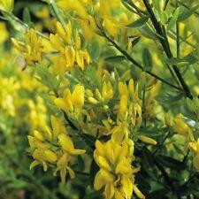 Suffolk Herbs - Greenweed Dyers - 45 Seeds