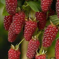 746| Bonsaï 50 pcs framboise fruits plantes ecossais croix Tayberry framboise