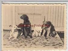 (F2485) Orig. Foto 2.WK, Hunde am Barackenlager, 1940er