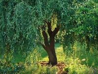 2 Corkscrew Willow Tree Cuttings - Leaves and Branches Curl Very Distinctly
