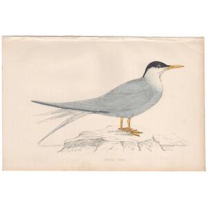 Morris Birds antique 1863 hand-colored engraving print 322 Arctic Tern