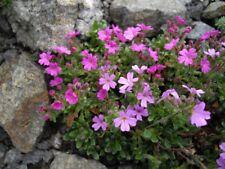 25 + Erinus Alpinus aka Alpine Balsam Perennial Hardy Cool Weather Flower Seeds