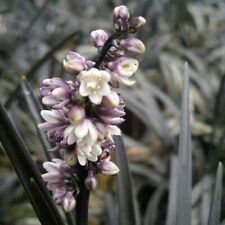 Black Grass Ophiopogon Planiscapus Nigrescens Evergreen Perennial