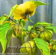 Tomatille Mexicain Paille tomate physalis ixocarpa philadelphica 120 + Semences