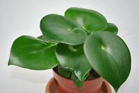 Pilea peperomioides Glückstaler Ufopflanze Chinesischer Geldbaum,große Pflanzen