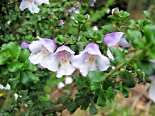 Prostanthera cuneata prostrate form(Mint bush)in 75mm supergro tube native plant