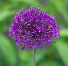 Allium aflatunense PURPLE SENSATION Seeds!