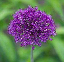 Allium aflatunense PURPLE SENSATION Seeds!