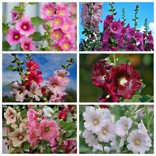 50 Hollyhock Flowers Seeds Mallow Mix Perennial Bright Popular Ornamental Plant