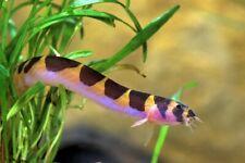 Kuhli Loaches (2) Live Aquarium Fish Peaceful Bottom Dweller Liquidation Sale