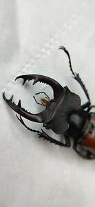 Lucanidae, lucanus, 48.5mm, sichuan, China