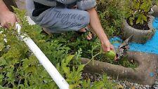 15x Mini Melonen Rot Samen Saatgut Obst Pflanze Rarität essbar lecker #135