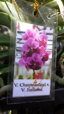 Orchid Vanda Chavananand x Jindavat Exotic Tropical Plants Mad Happenings