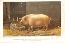 "QUESNOY-LE-MONTANT ""PORC NEW LEICESTER DE M. PAILLARD"" ILLUSTRATION HIMELY 1862"