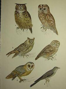VINTAGE NATURAL HISTORY PRINT ~ EAGLE OWL BARL LITTLE OWL CUCKOO TAWNY OWL