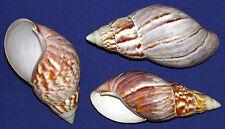 "(5) Polished GIANT Fairyland Land Snail Shells 3-1/2"" Craft Seashell Supply"
