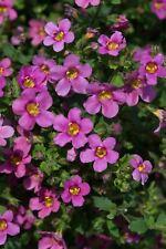 Fleur-Bacopa pinktopia - 50 graines enrobées